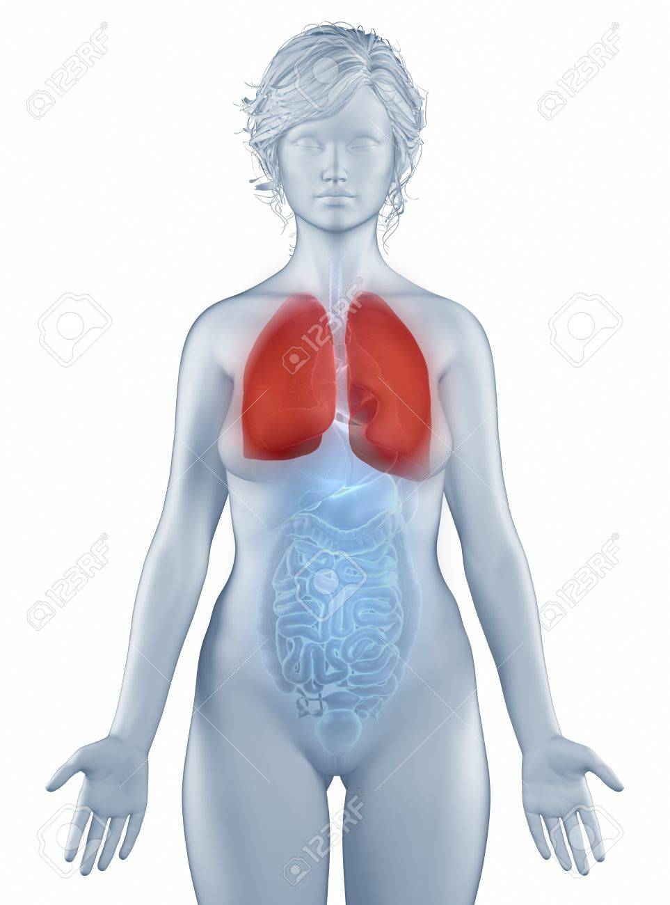 Lungs Position Anatomy Woman Isolated Stock Photo, Picture And ...