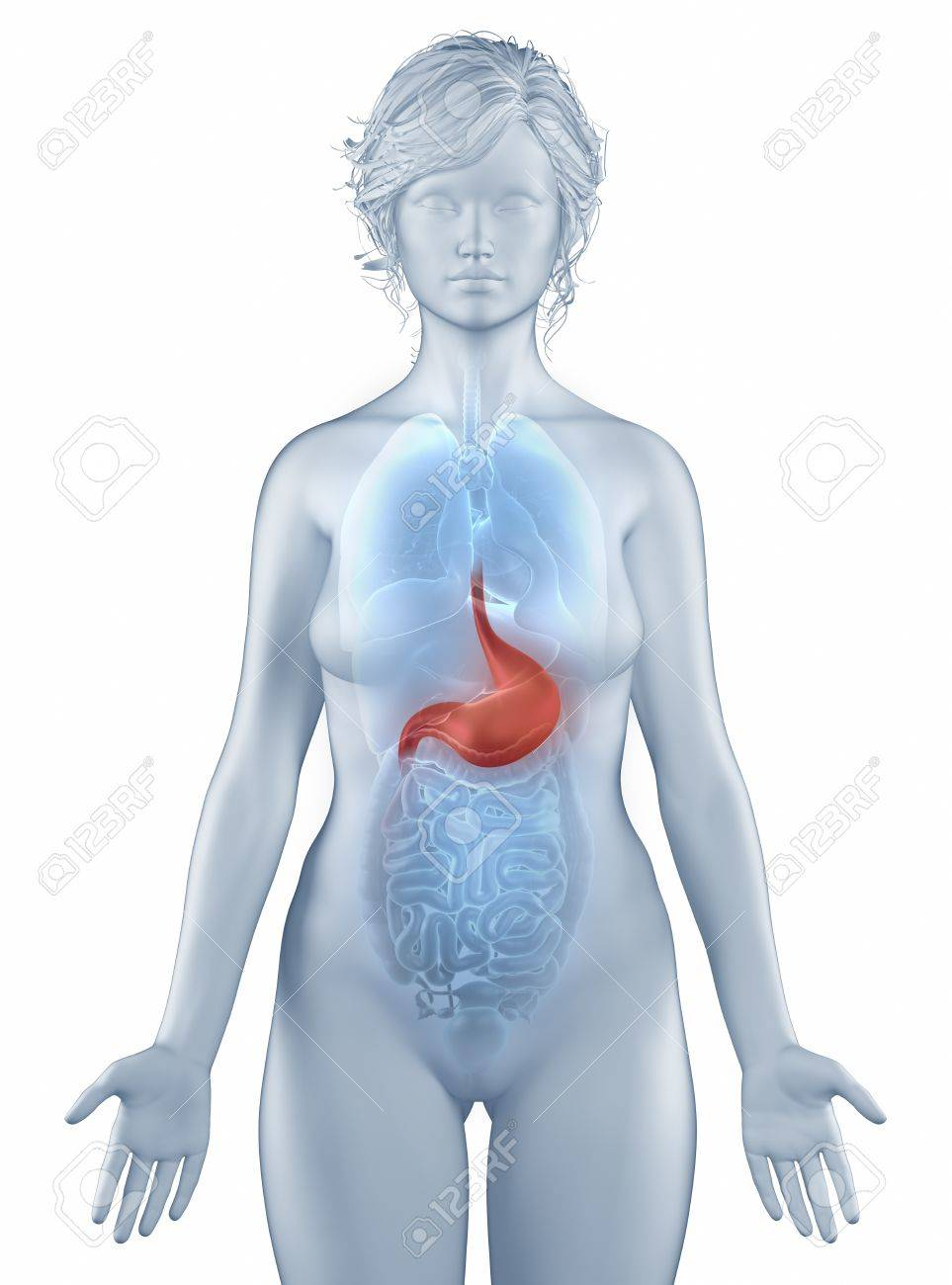 Stomach Position Anatomy Woman Isolated Stock Photo Picture And