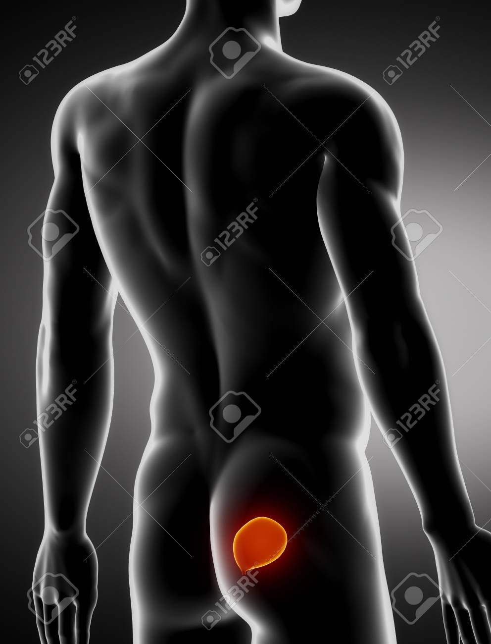 Bladder male anatomy lateral x-ray view Stock Photo - 20901984