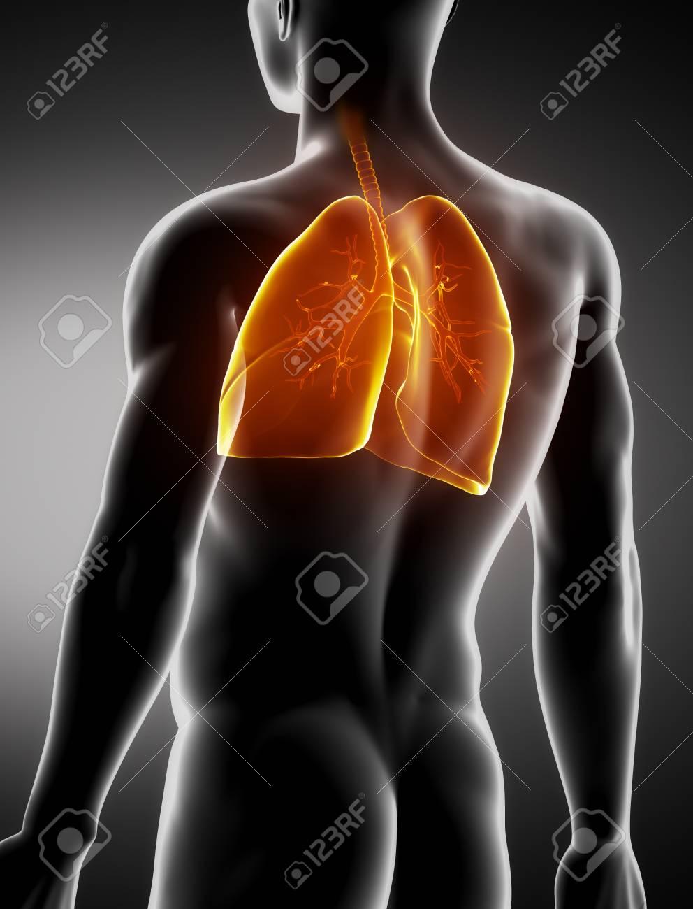 Los Pulmones Y La Anatomía Posterior Visión De Rayos X Macho Tráquea ...