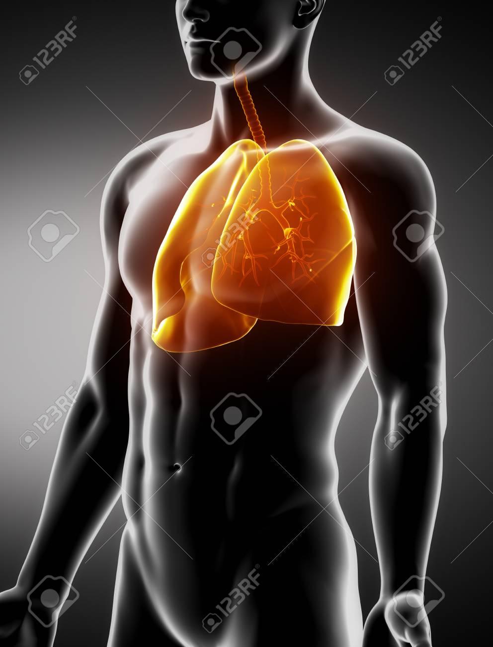 Los Pulmones Y Anatomía Anterior Visión De Rayos X Macho Tráquea ...