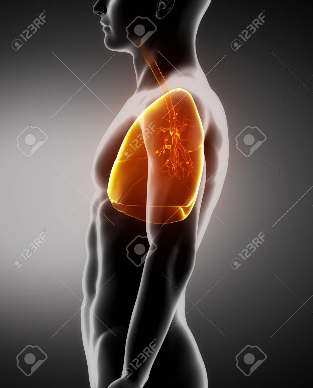 Los Pulmones Y La Anatomía Masculina Tráquea Vista Lateral De Rayos ...