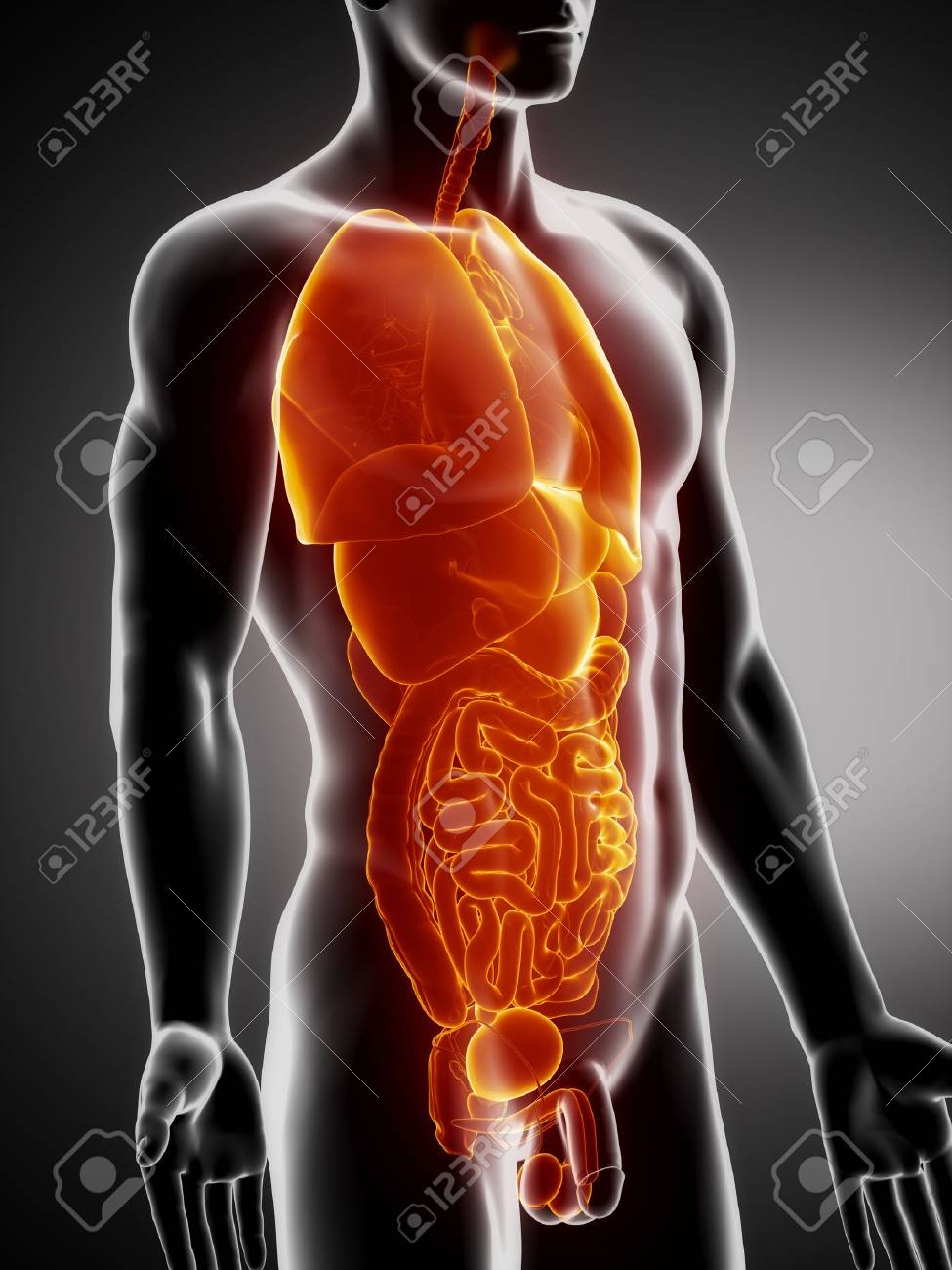 Man Organs Anatomy Anterior X-ray View Stock Photo, Picture And ...