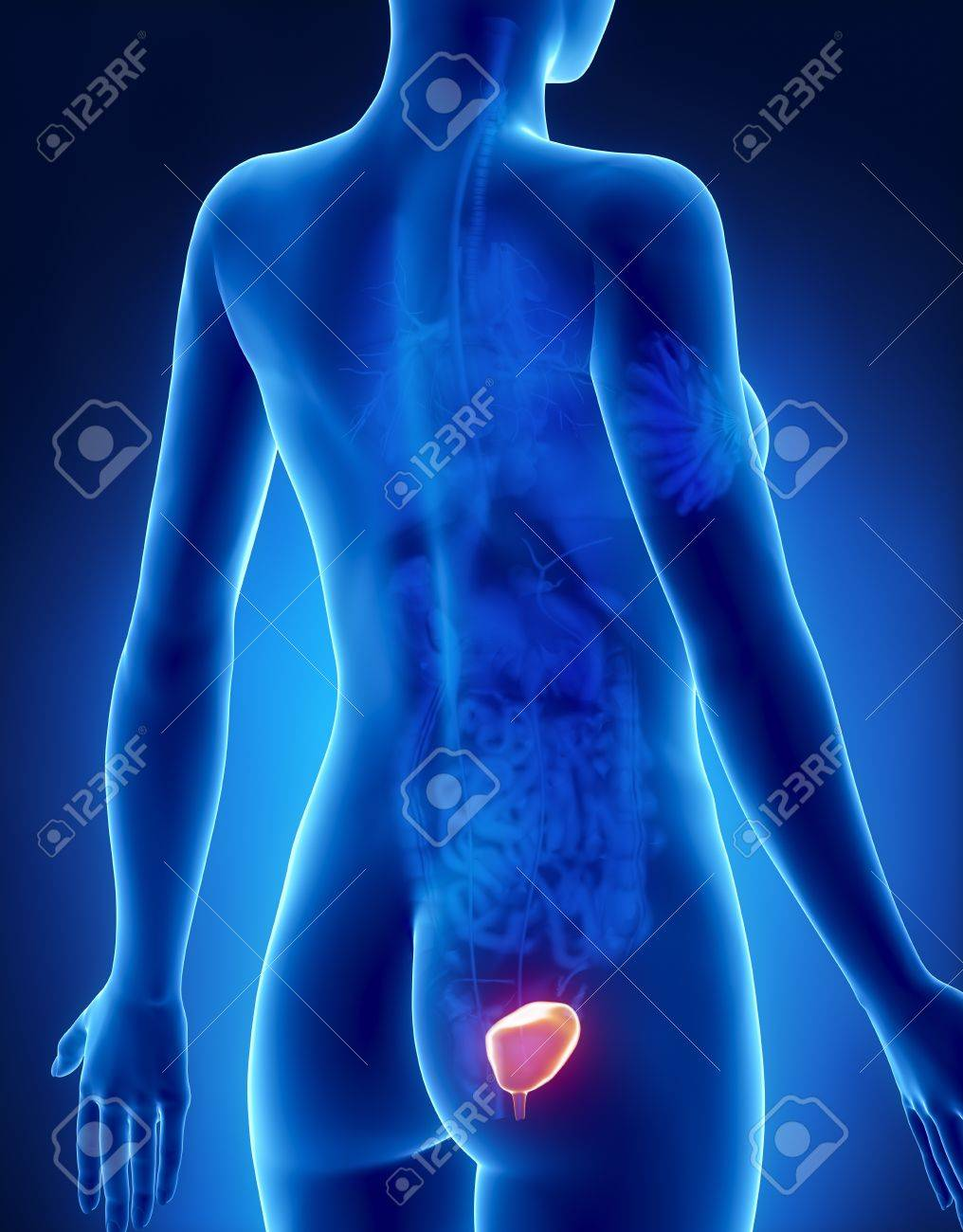 Female BLADDER Anatomy X-ray Posterior View Stock Photo, Picture And ...