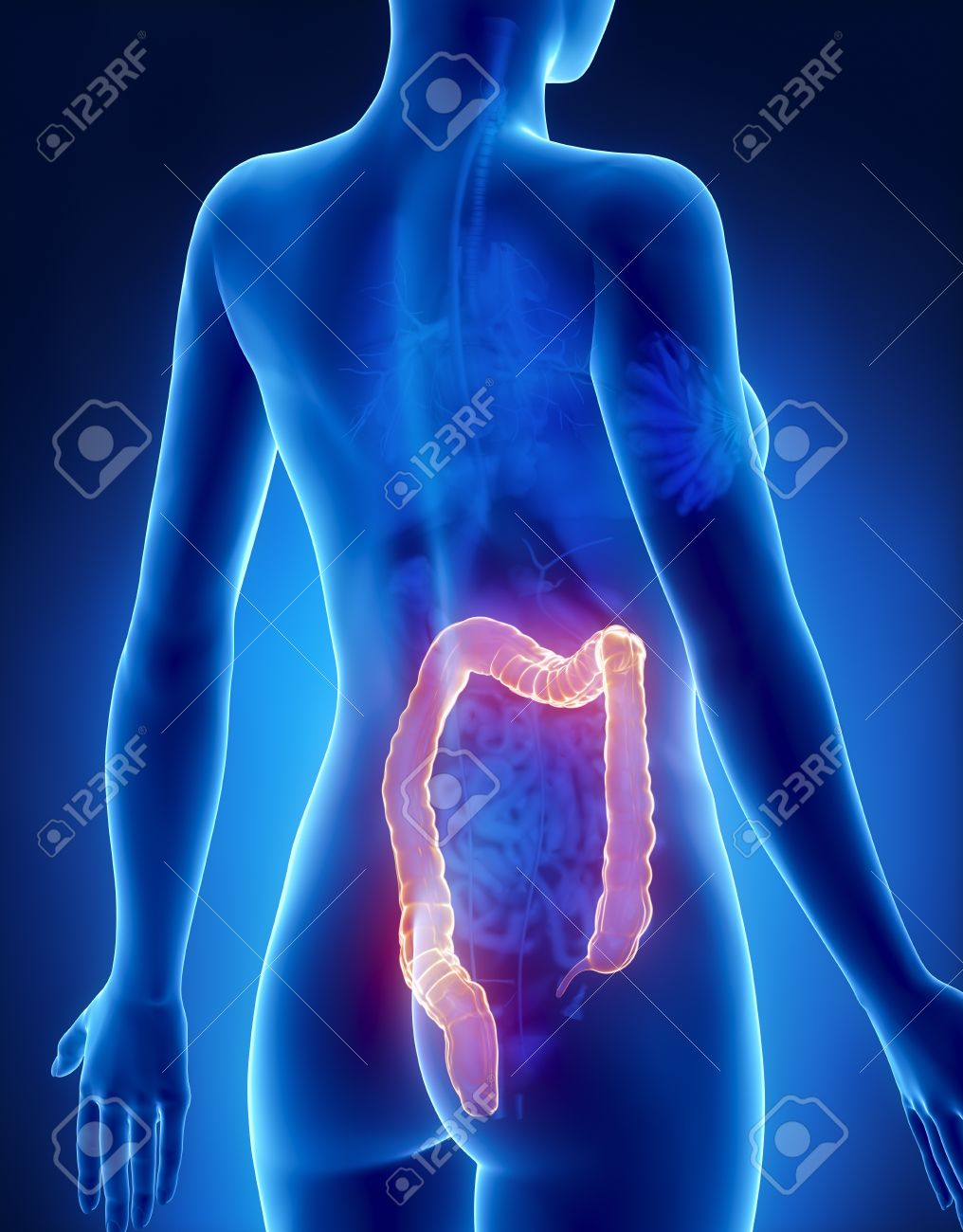Female COLON Anatomy X-ray Posterior View Stock Photo, Picture And ...