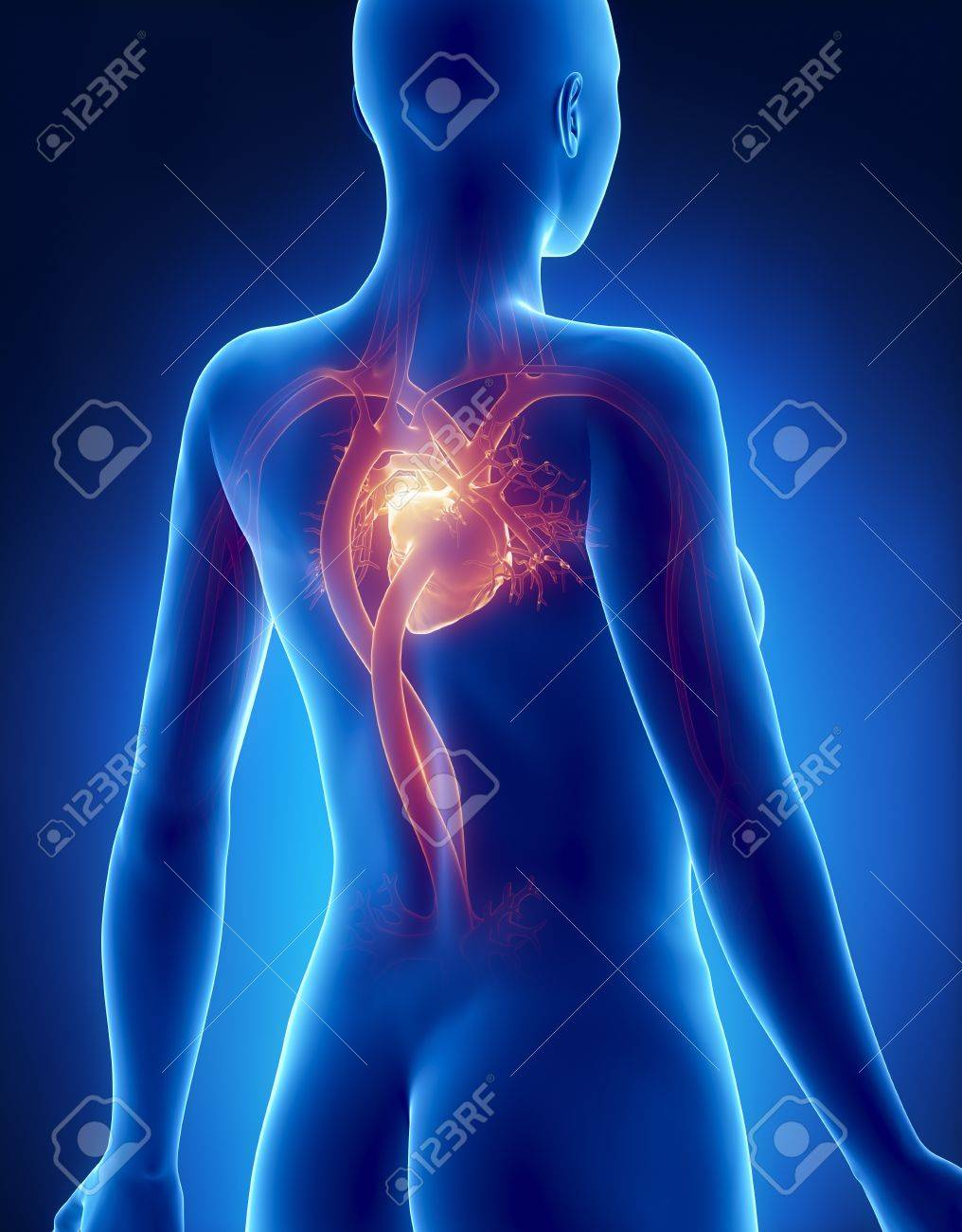 Weibliche Herz Anatomie X-ray Rückansicht Lizenzfreie Fotos, Bilder ...