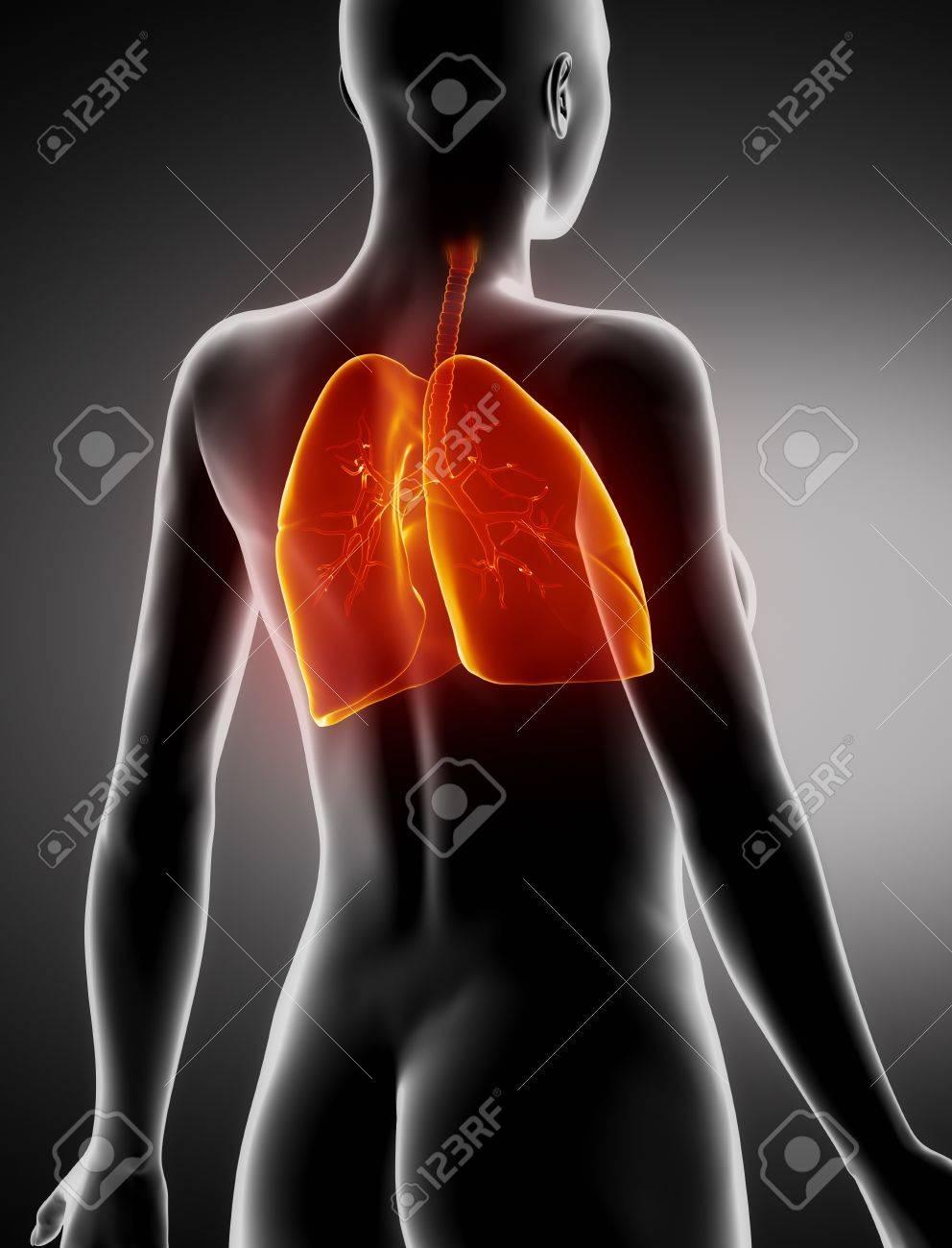 Weiblich Lunge Und Bronchien Anatomie X-ray Rückansicht Lizenzfreie ...