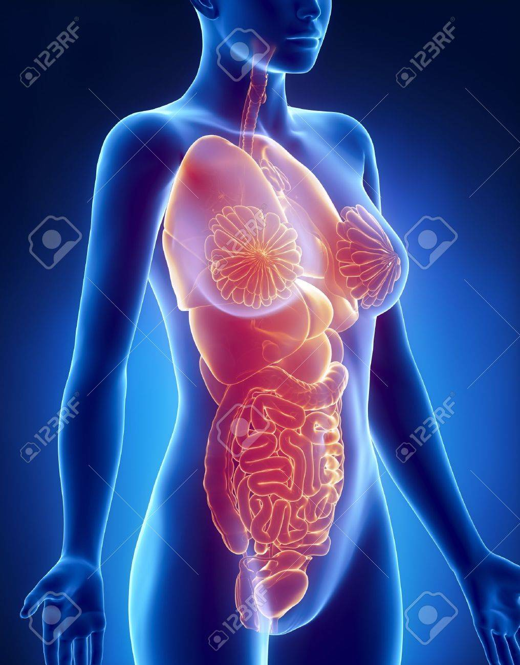 Female Organs Anatomy X Ray Lateral View Stock Photo Picture And