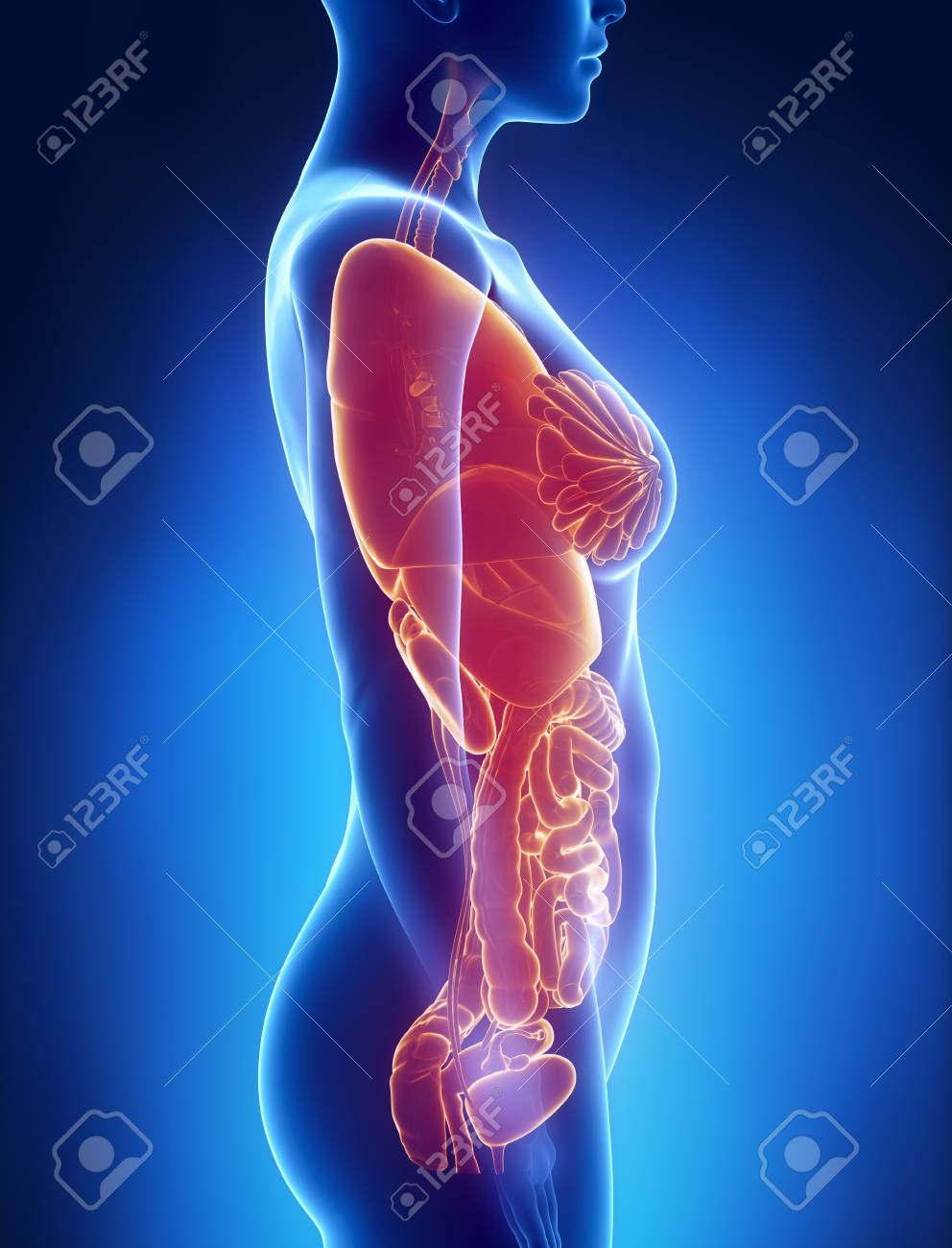 Female Organs Anatomy X Ray Left View Stock Photo Picture And