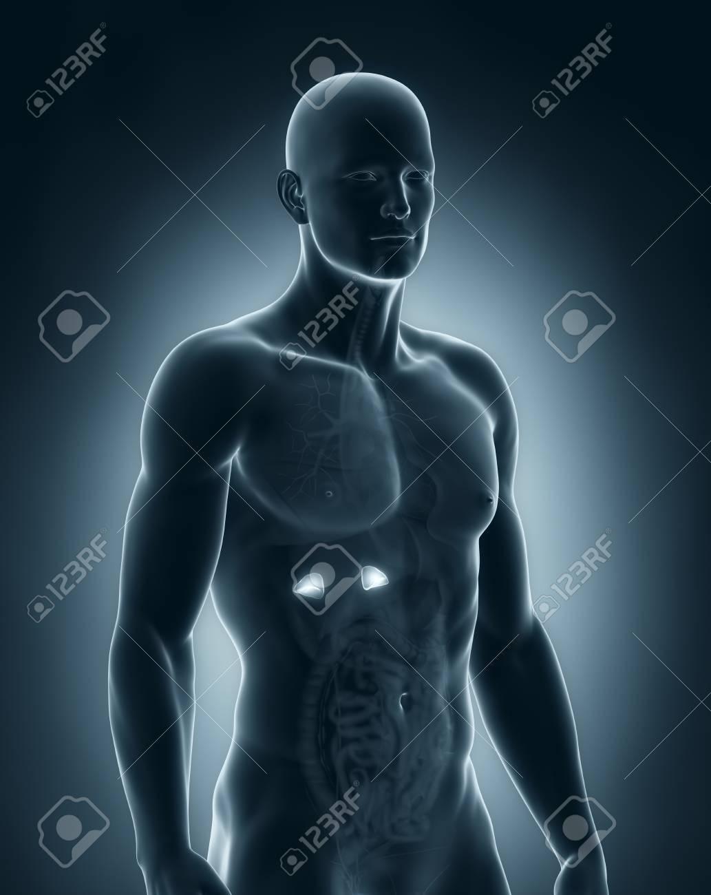 Ungewöhnlich Männlich Oberkörper Anatomie Bilder - Menschliche ...