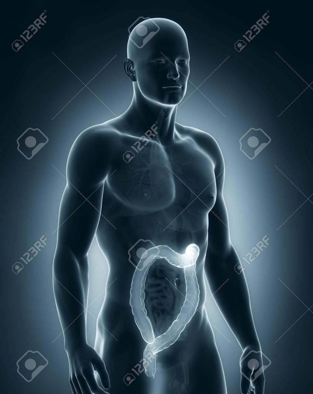 Man colon natomy Stock Photo - 21789257