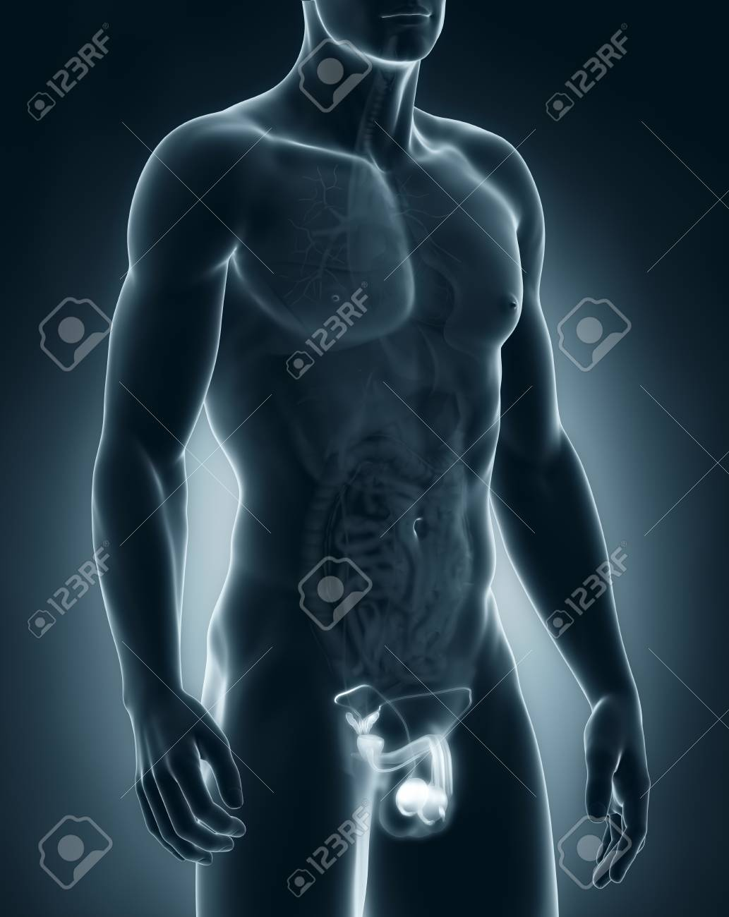 Male Genitalia Anatomy Stock Photo, Picture And Royalty Free Image ...