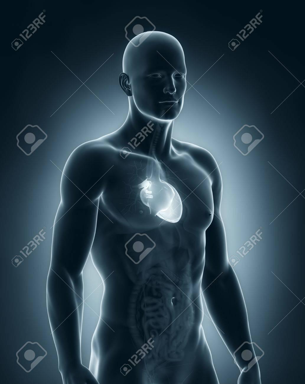 Männlich Herz Anatomie Lizenzfreie Fotos, Bilder Und Stock ...