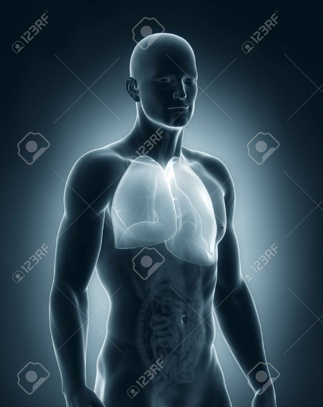 Male lungs anatomy Stock Photo - 21789237