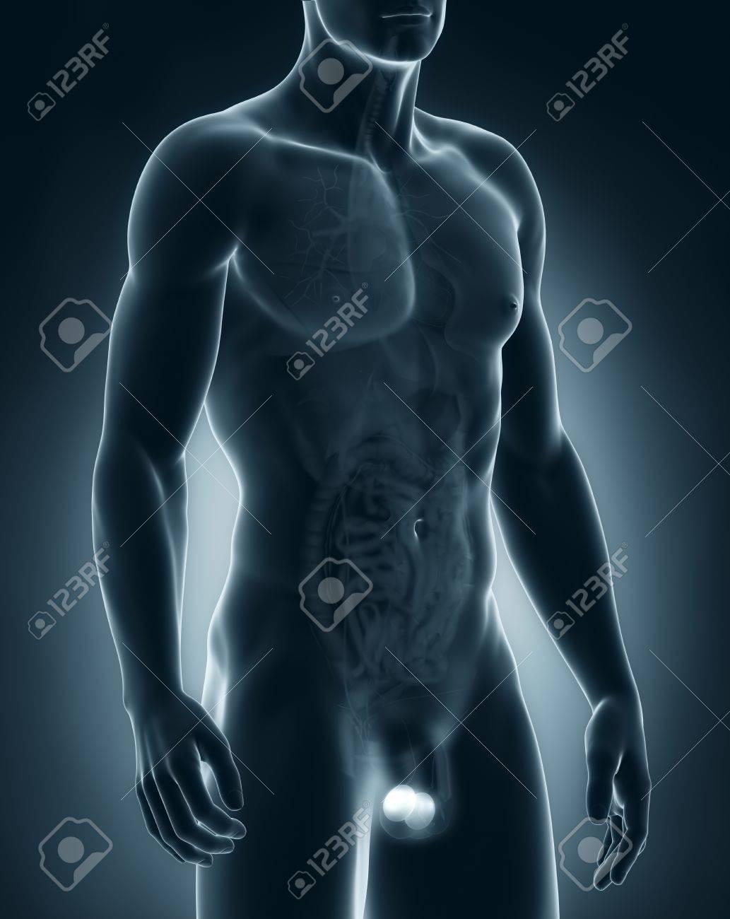 男性の睾丸の解剖学 の写真素材 画像素材 Image