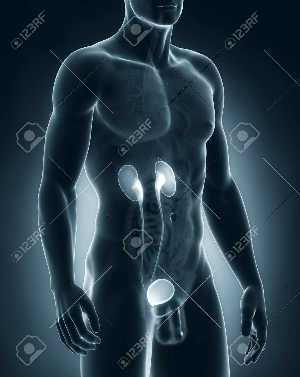 Male Urinary System Anatomy Stock Photo, Picture And Royalty Free ...