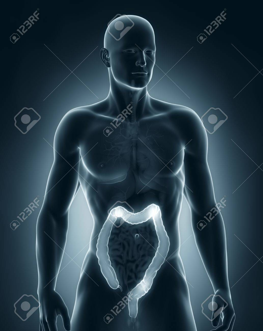 Man colon natomy anterior view Stock Photo - 21789877