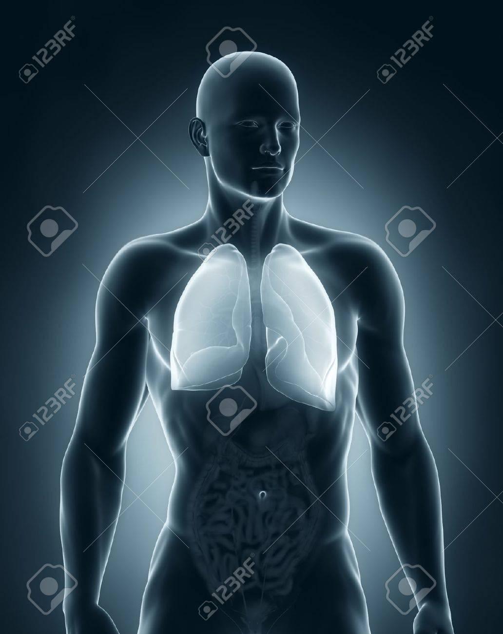 Hombre Pulmones Anatomía Vista Anterior Fotos, Retratos, Imágenes Y ...
