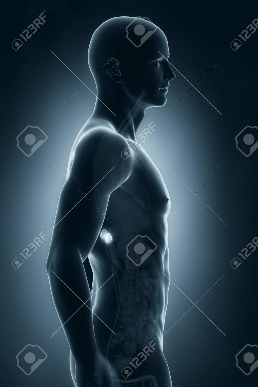 Männlich Nebennieren Anatomie Seitenansicht Lizenzfreie Fotos ...