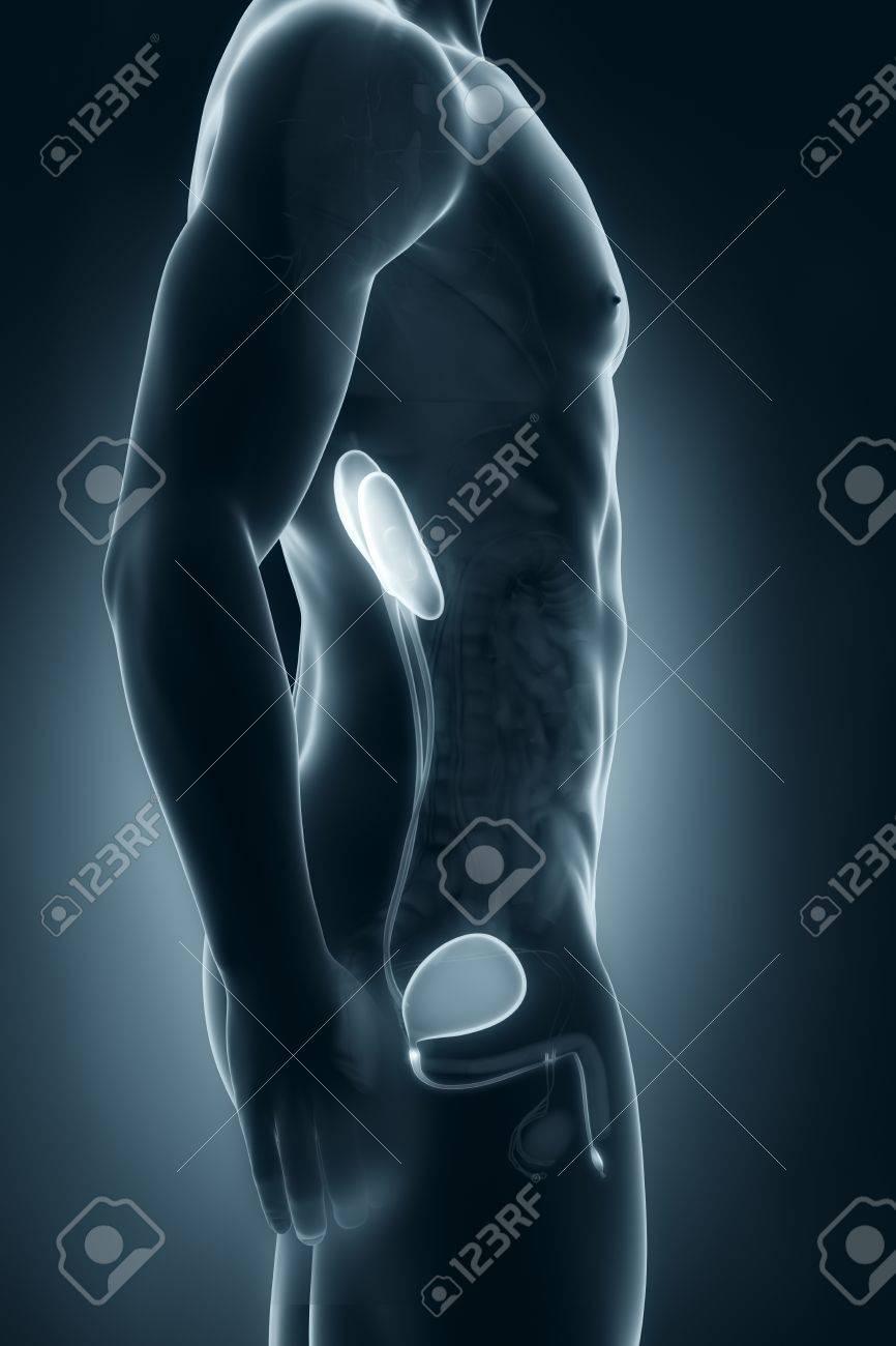 Sistema Urinario Masculino Vista Lateral Anatomía Fotos, Retratos ...