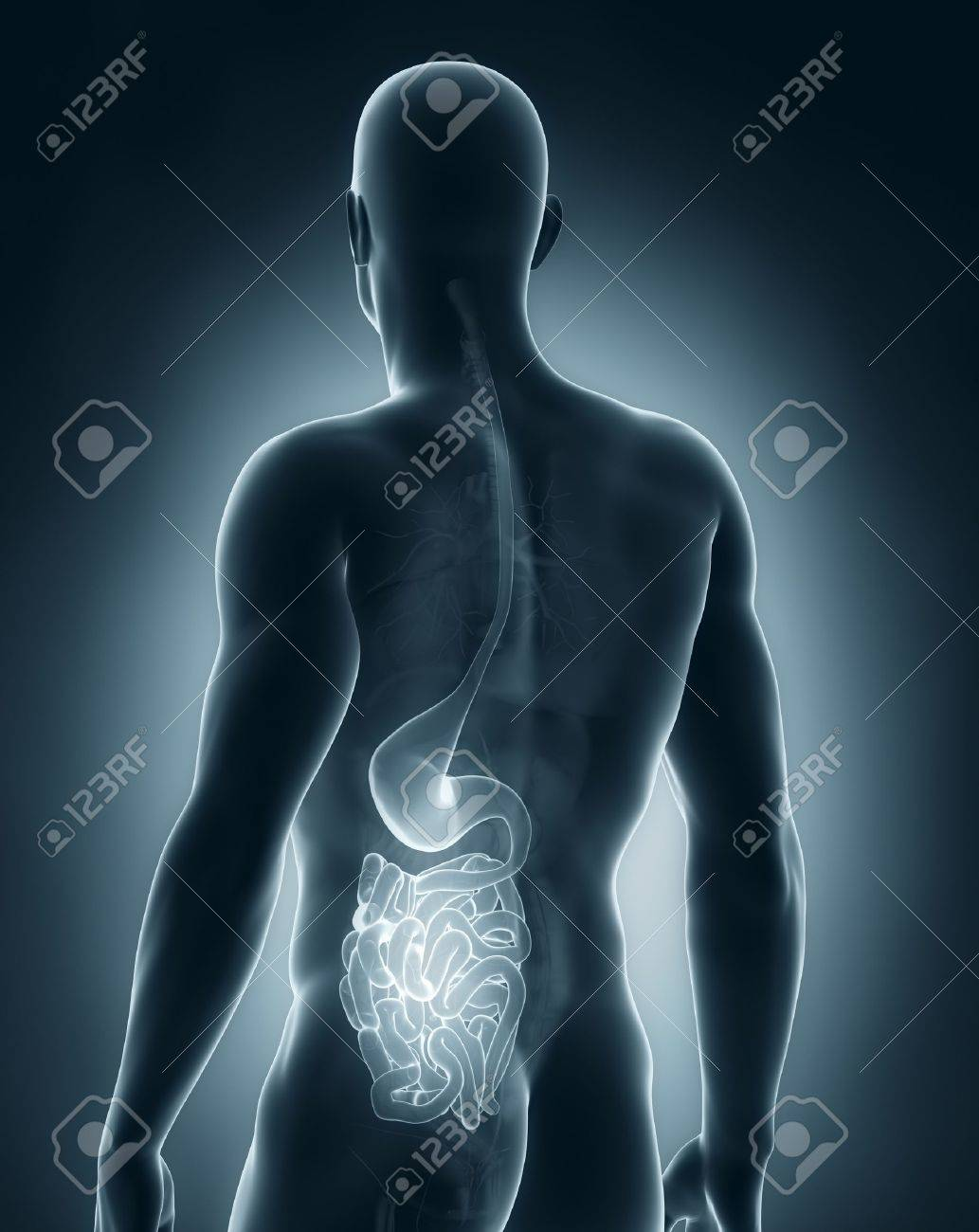 Male digestive system anatomy posterior view Stock Photo - 21790251