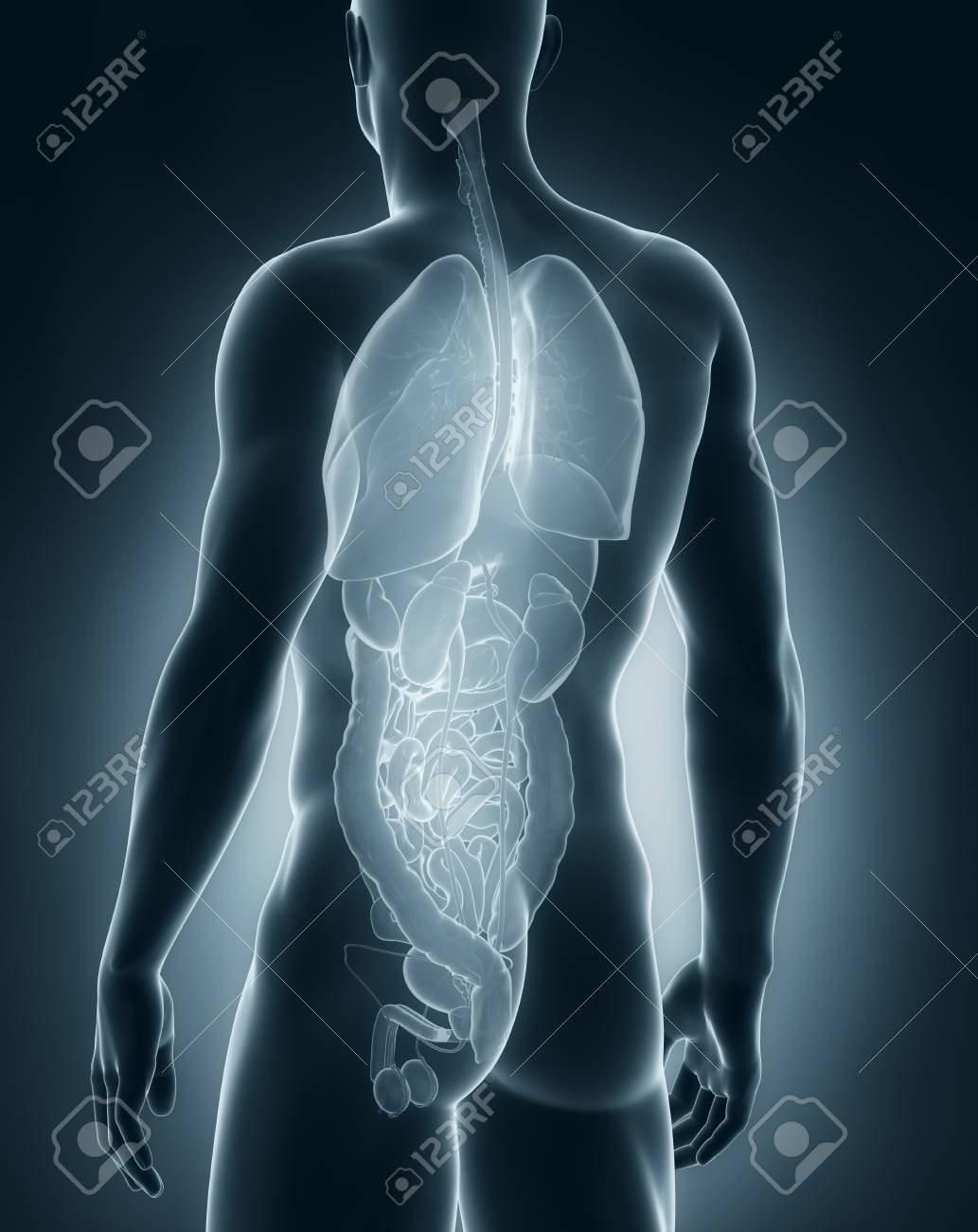 Male Organs Anatomy Posterior View Stock Photo Picture And Royalty