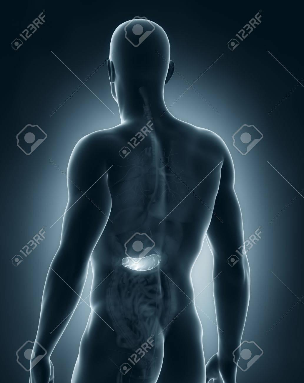 Hombre Páncreas Anatomía Vista Posterior Fotos, Retratos, Imágenes Y ...