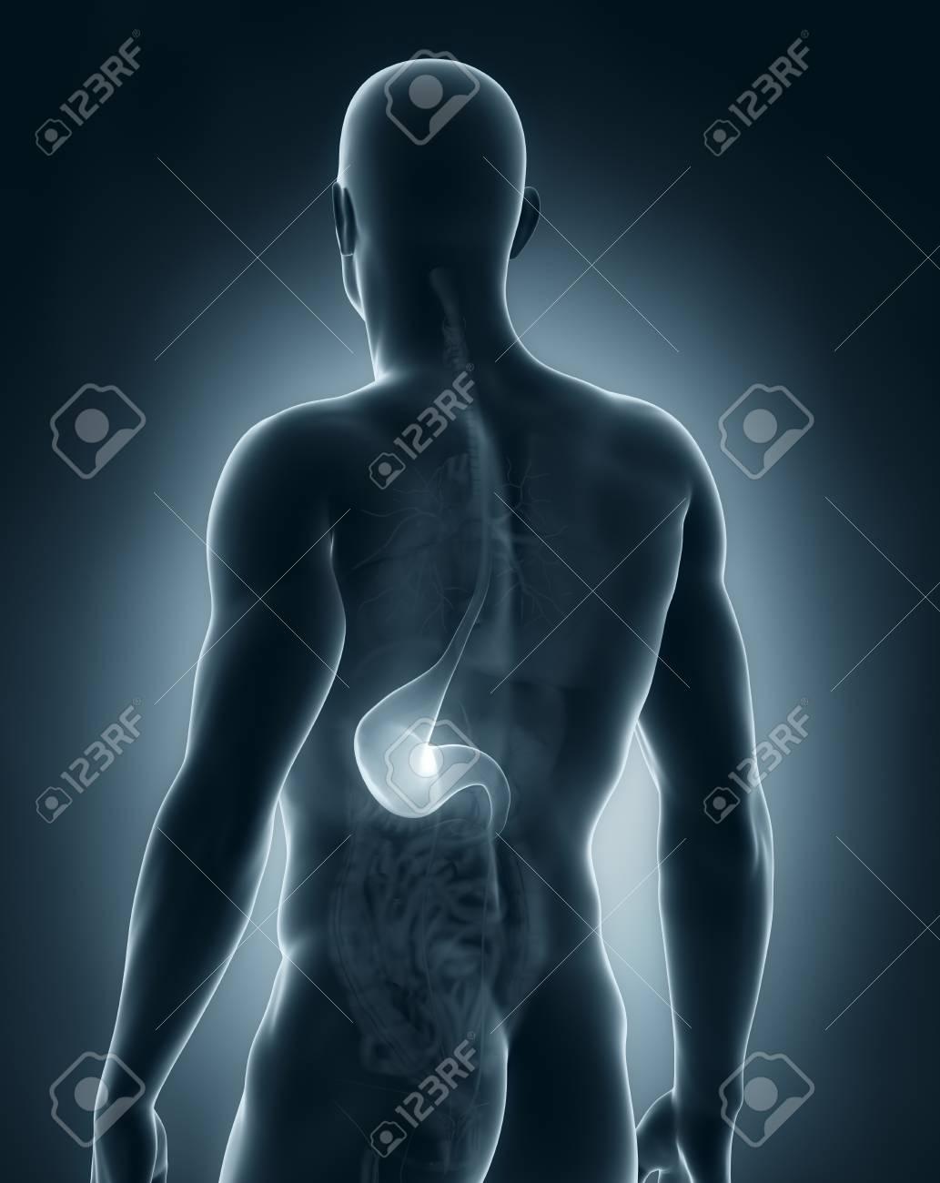 Männlich Magen Anatomie Rückansicht Lizenzfreie Fotos, Bilder Und ...