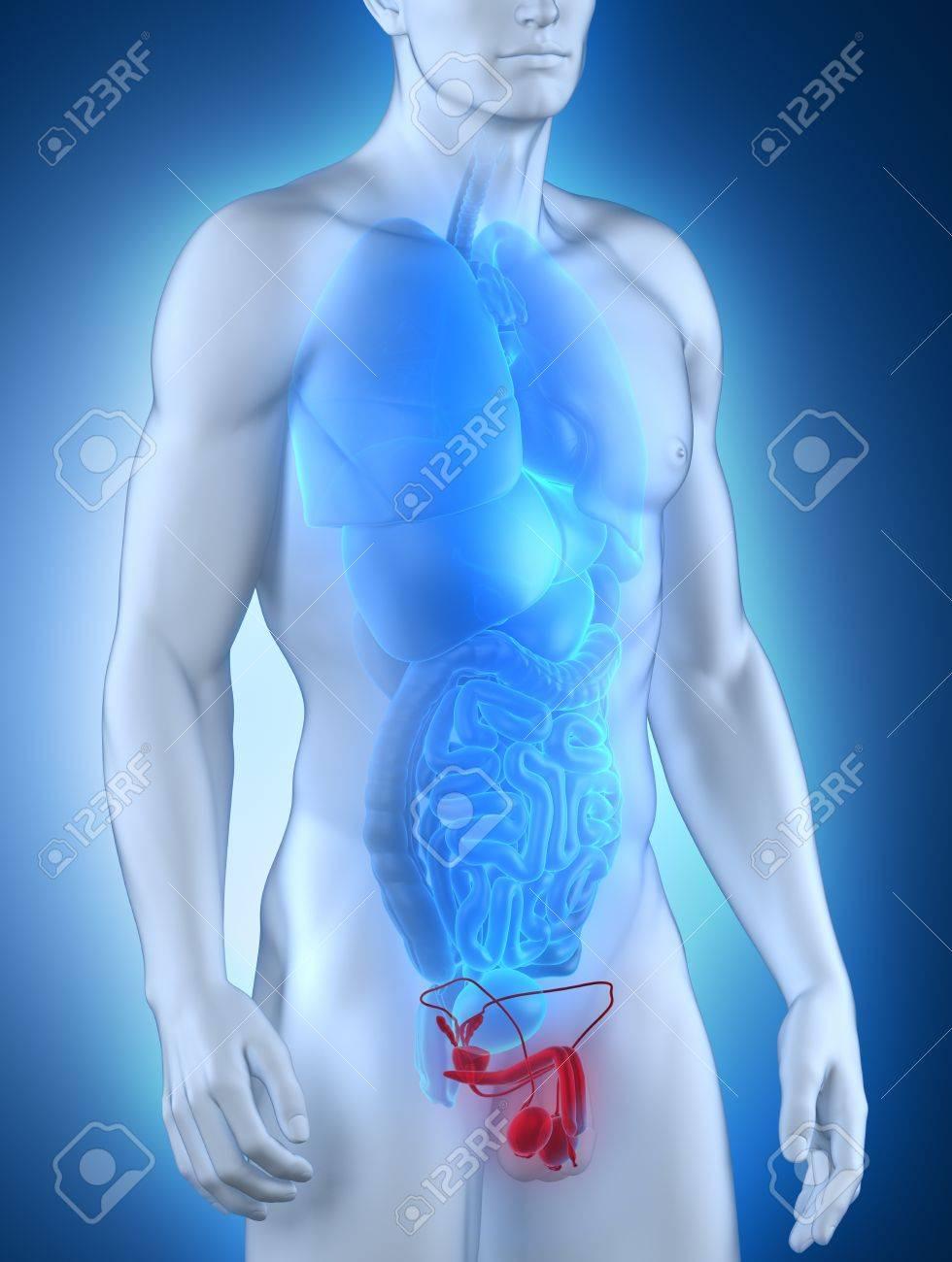 Genitales Masculinos Anatomía Vista Anterior Fotos, Retratos ...