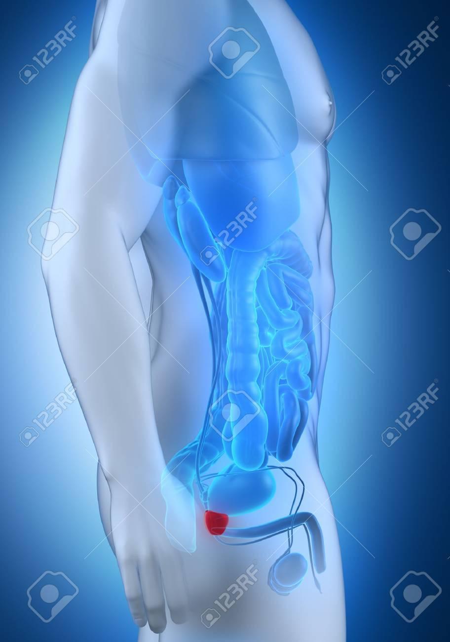 anatomía fotográfica de próstata