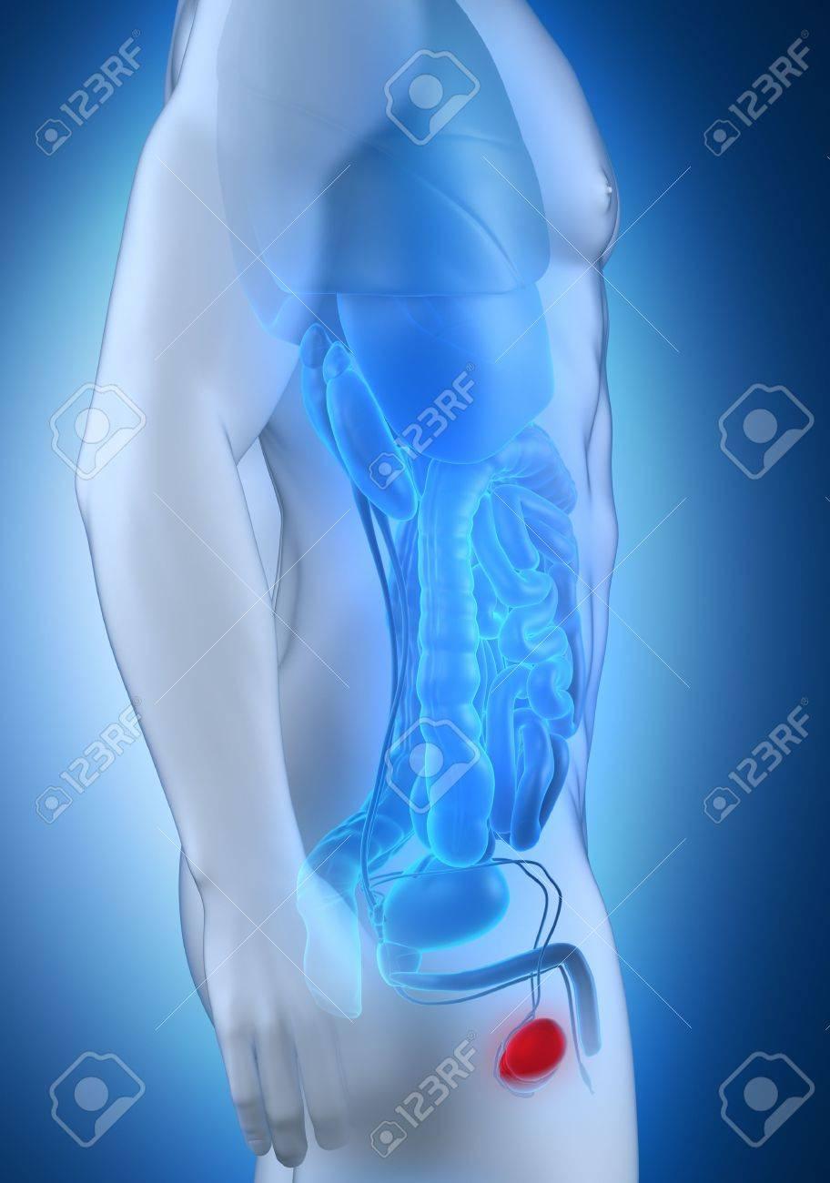 Männliche Hoden Anatomie Seitenansicht Lizenzfreie Fotos, Bilder Und ...