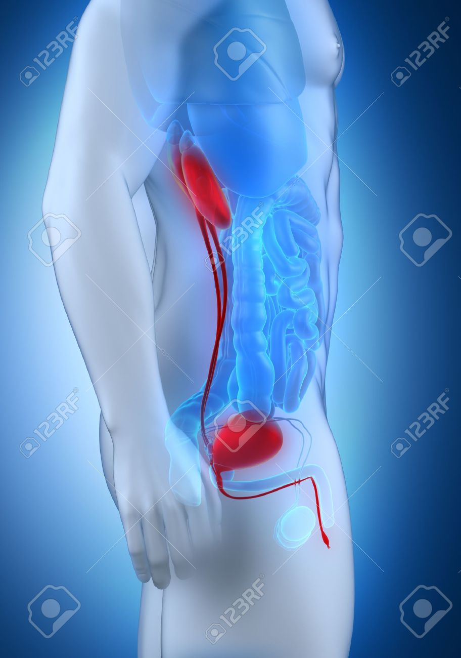 Male Urinary System Anatomy Lateral View Stock Photo Picture And