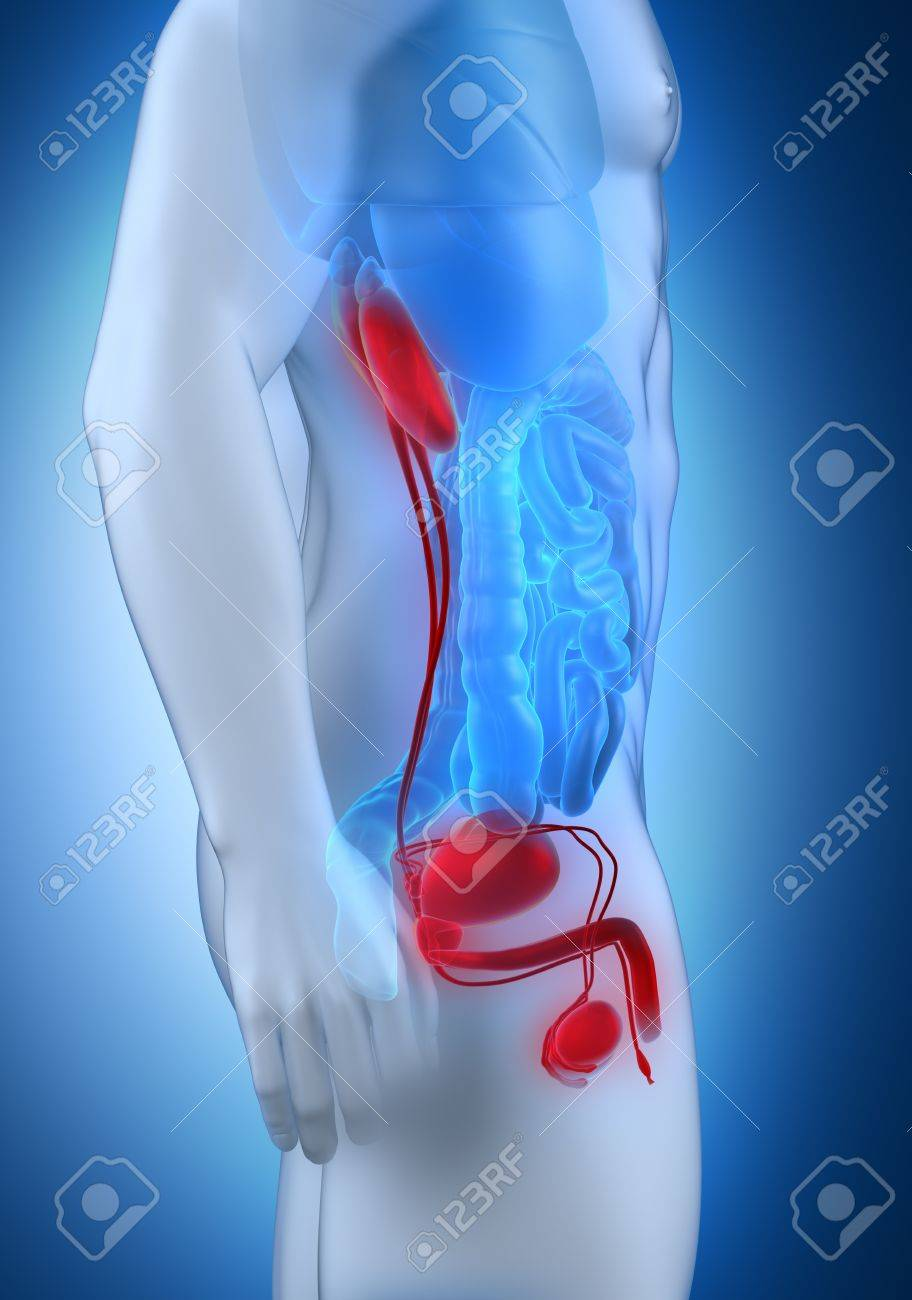 Male urogenital anatomy lateral view Stock Photo - 21790570