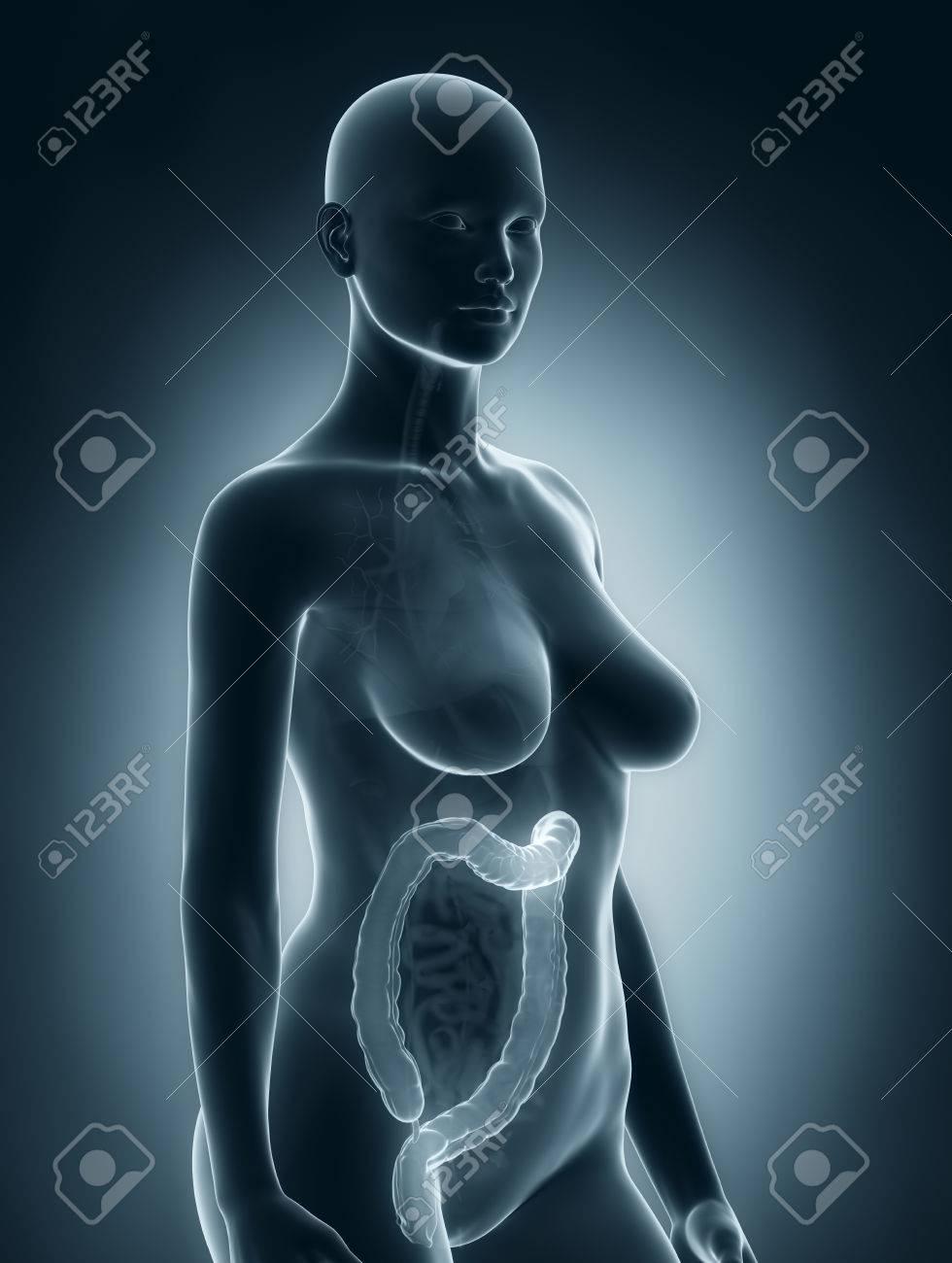 Mujer De Colon Anatomía Fotos, Retratos, Imágenes Y Fotografía De ...