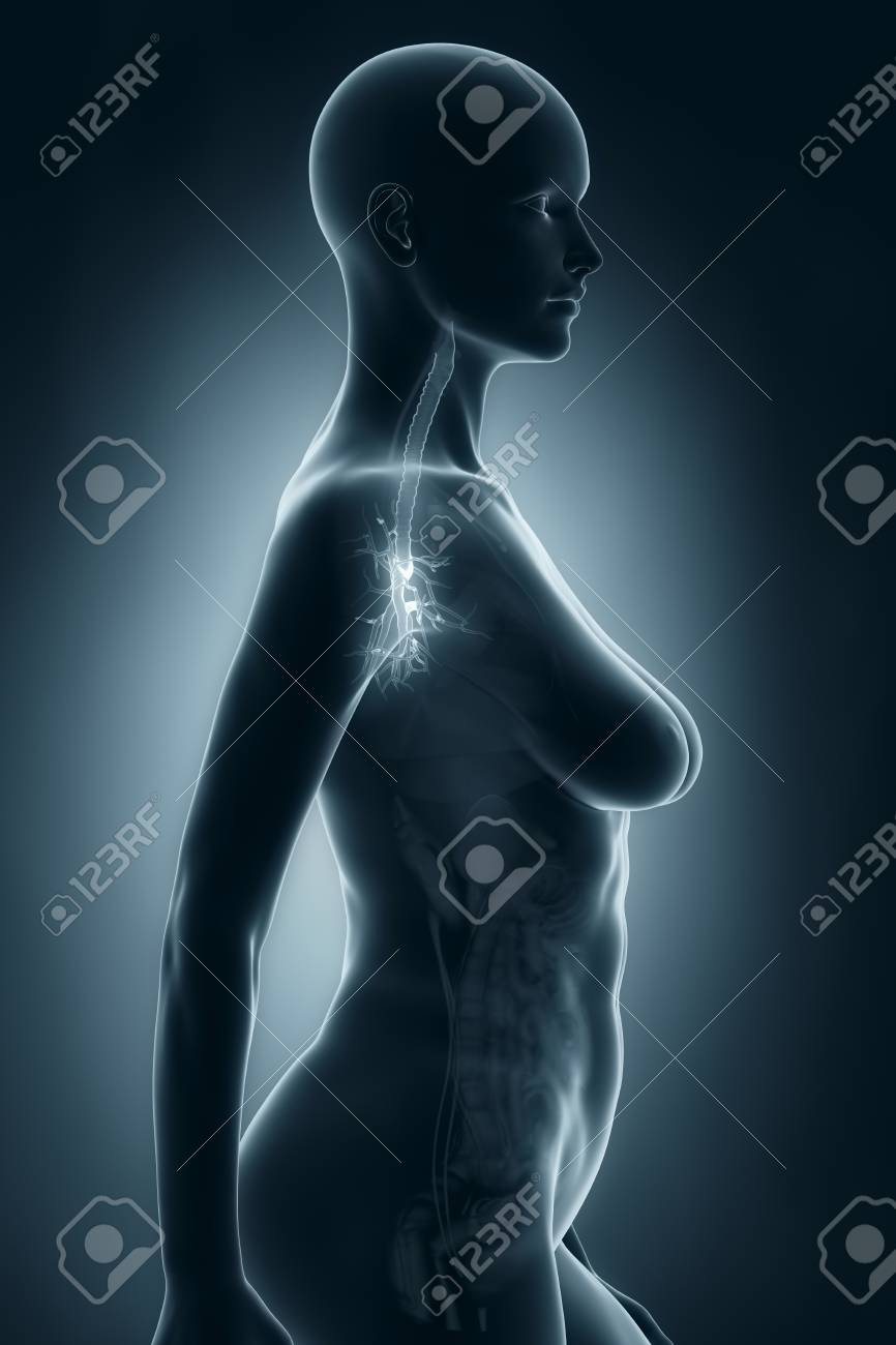 Woman Bronchial Tree Anatomy X-ray Lateral View Stock Photo, Picture ...