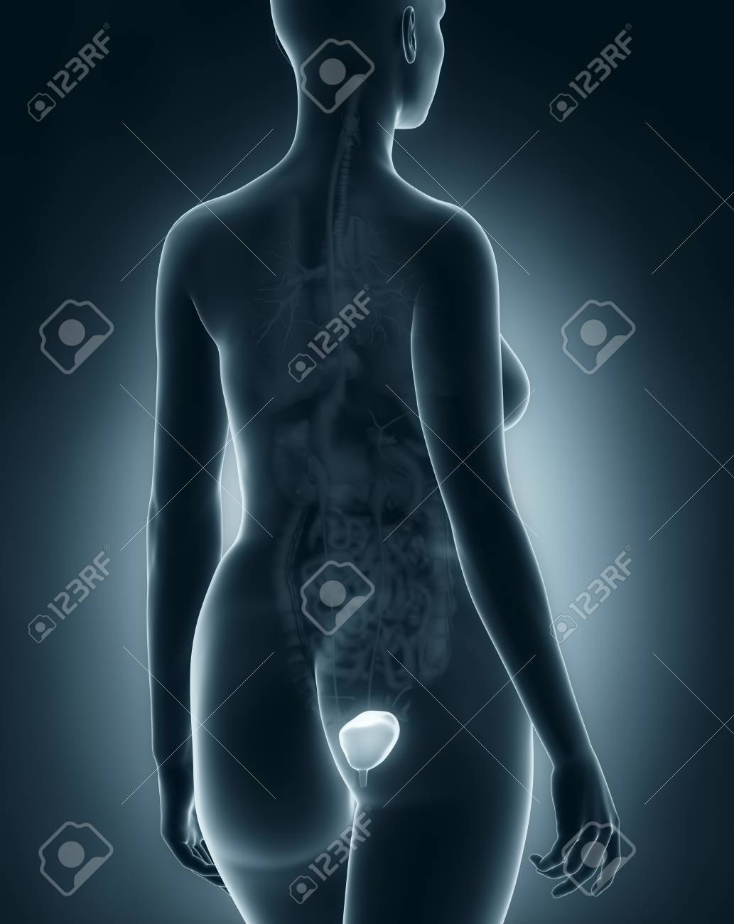 Female Bladder Anatomy X Ray Black Posterior View Stock Photo