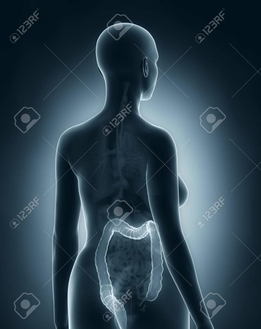 Woman colon anatomy x-ray black posterior view Stock Photo - 24341651