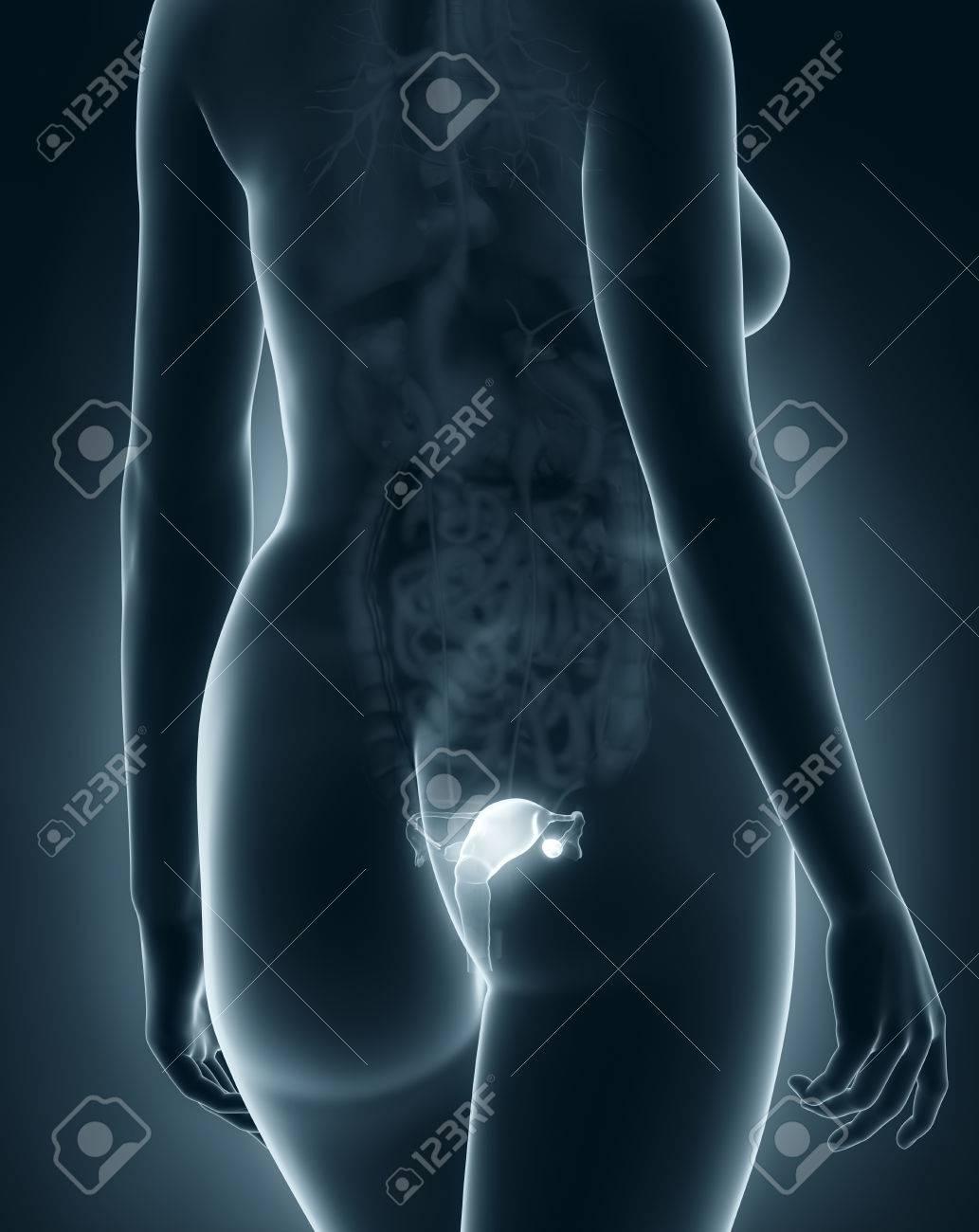 Woman genitalia anatomy x ray black posterior view stock photo woman genitalia anatomy x ray black posterior view stock photo 24341652 pooptronica Image collections