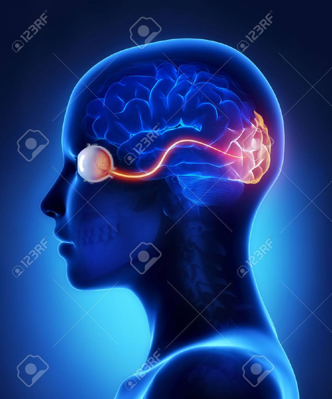 Eye And Visual Cortex Nerves Stock Photo, Picture And Royalty Free ...