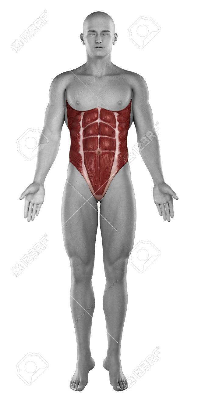 Male Abdomen Muscles Anatomy Isolated Stock Photo, Picture And ...