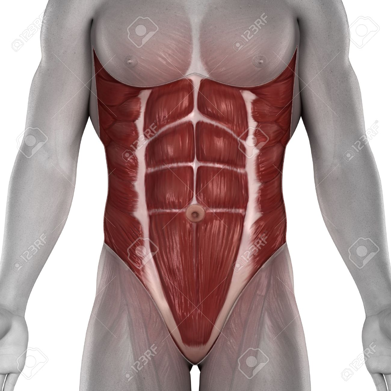 abdominal muscle images & stock pictures. royalty free abdominal, Human Body