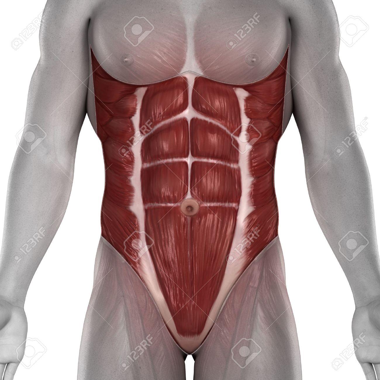 Männlich Bauchmuskeln Anatomie Isoliert Lizenzfreie Fotos, Bilder ...