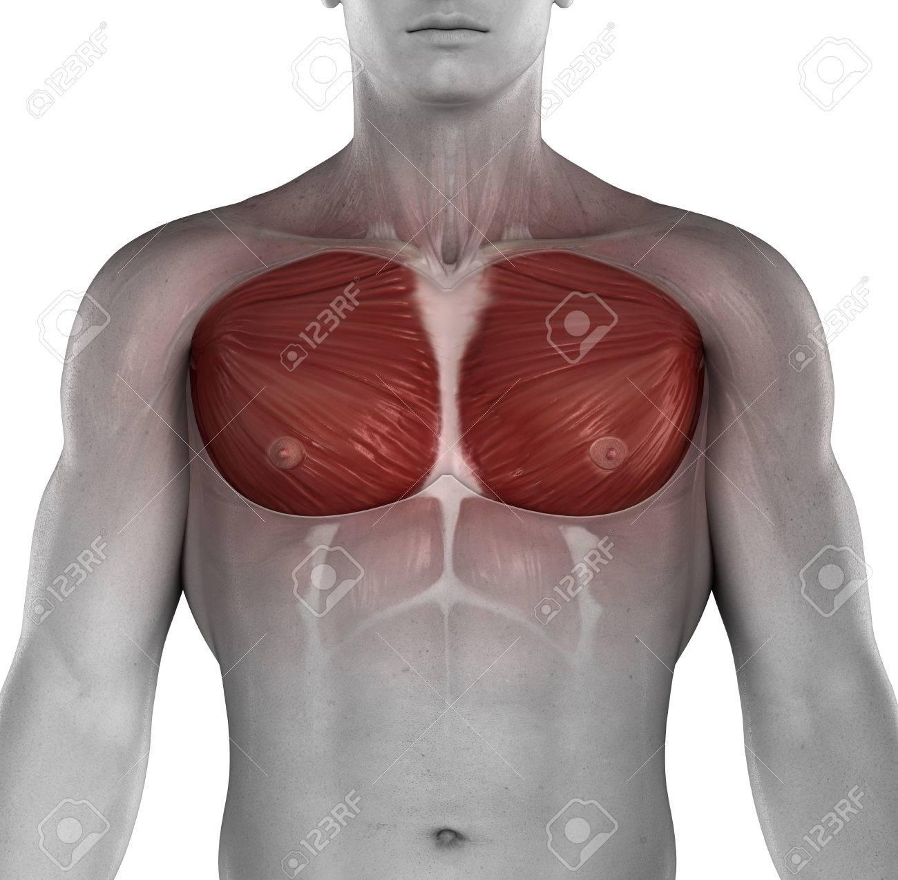 Anatomía Masculina Del Pecho Musle Fotos, Retratos, Imágenes Y ...