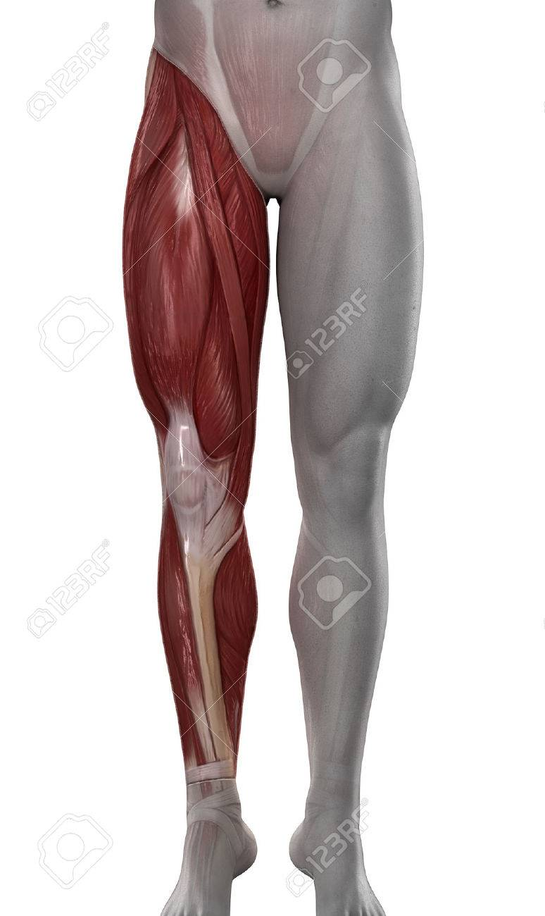 Male Leg Muscles Anatomy Isolated Stock Photo Picture And Royalty
