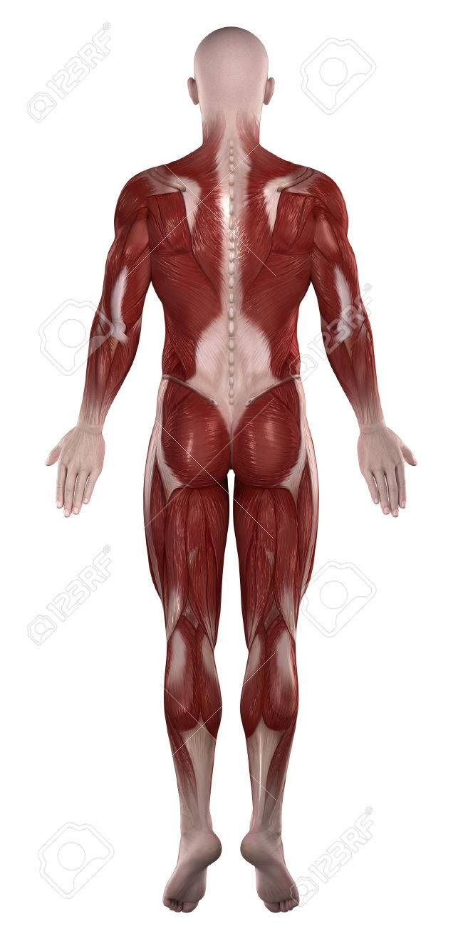 Músculos Anatomía Del Hombre Aislado Vista Posterior Fotos, Retratos ...
