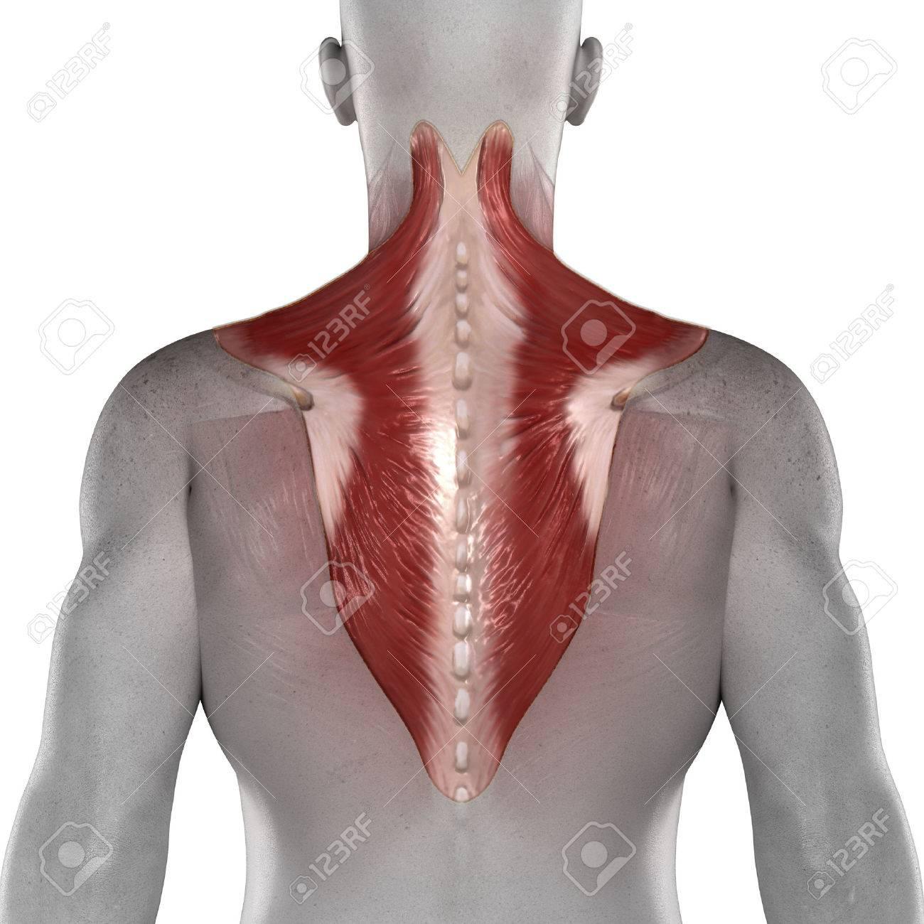Músculos Masculinos Trapecio Anatomía Vista Posterior Aislada Fotos ...