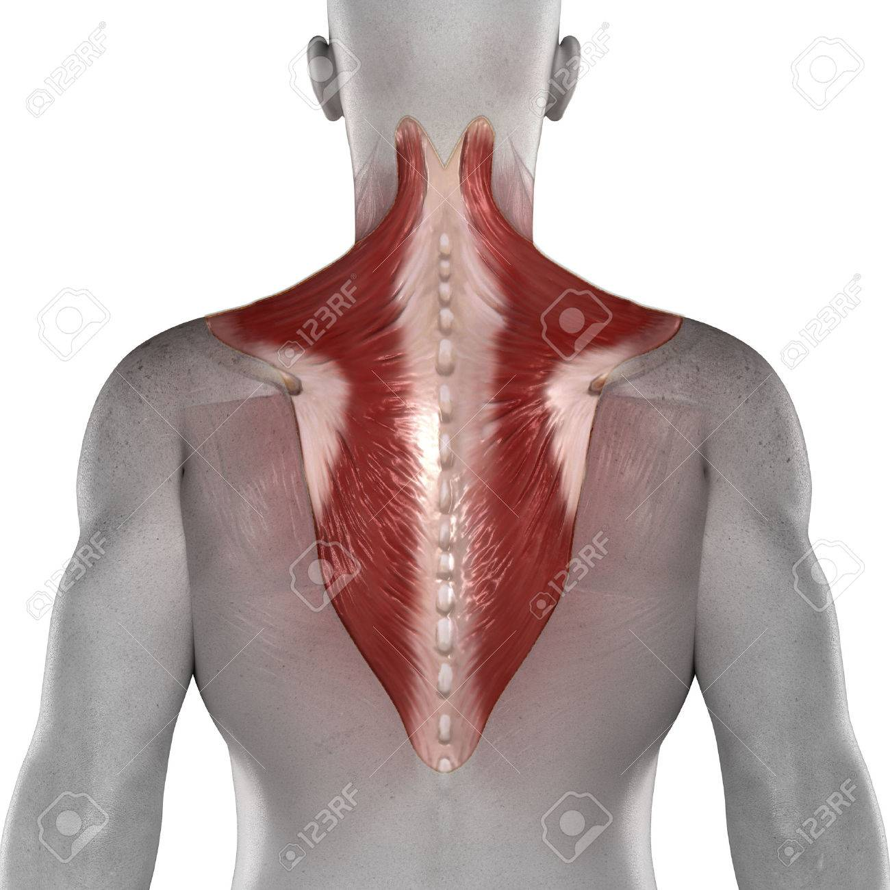 Trapezius Male Muscles Anatomy Posterior View Isolated Stock Photo