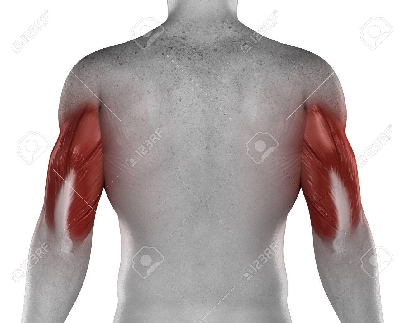 Tríceps Músculos Masculinos Vista Posterior Aislado Anatomía Fotos ...