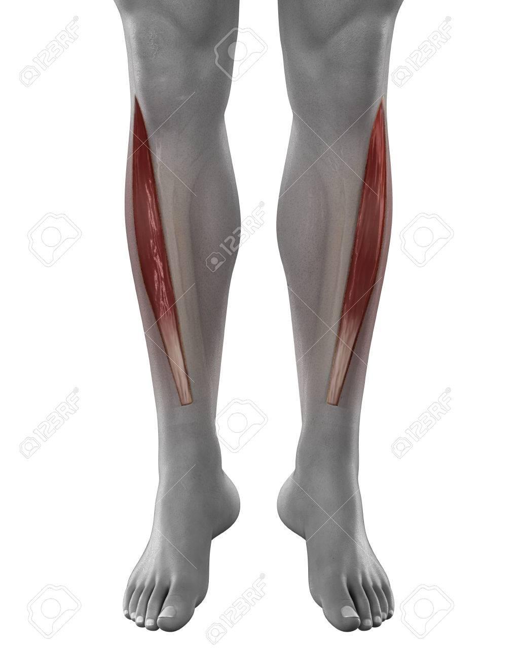 Tibial Anterior Vista Músculos Masculinos Anatomía Anterior Aislado ...