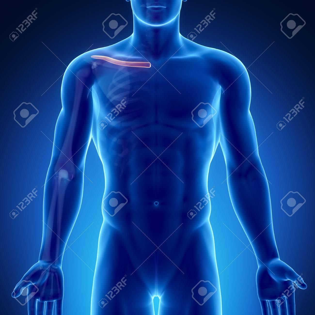 Hombre Clavícula Anatomía ósea Fotos, Retratos, Imágenes Y ...